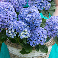 Hydrangea Double Flower Sensation® Together - Blauw
